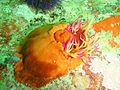 False plum anemone at Lorry Bay PB011956.JPG