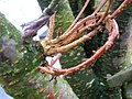 Fasciated Flowering Cherry branch.JPG