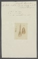 Fasciola truncata - - Print - Iconographia Zoologica - Special Collections University of Amsterdam - UBAINV0274 105 12 0010.tif