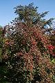 Feeringbury Manor flowering shrub, Feering Essex England.jpg