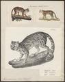 Felis macroura - 1700-1880 - Print - Iconographia Zoologica - Special Collections University of Amsterdam - UBA01 IZ22100252.tif