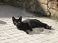 Felis silvestris catus.002 - A Coruña.jpg