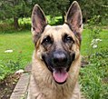 Female German Shepherd.jpg
