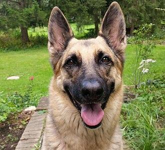 Image Result For Sable German Shepherd