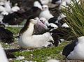 Female Short-tailed Albatross on Chick.jpg