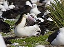 Female Short-tailed Albatross on Chick.jpg