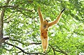 Female white cheek gibbon on the tree.jpg