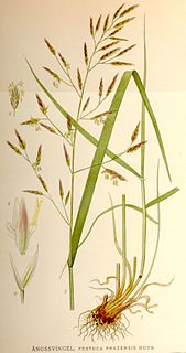 <i>Festuca pratensis</i> species of plant
