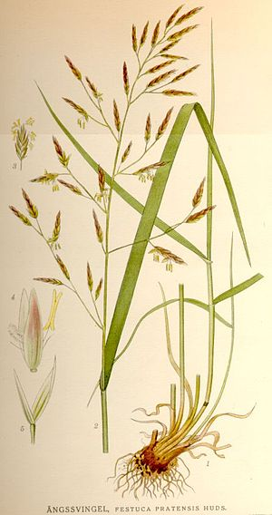 Festuca pratensis - Image: Festuca pratensis
