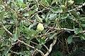 Ficus pumila 31zz.jpg