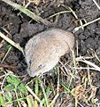 Field Vole (Microtus agrestris) - geograph.org.uk - 653916.jpg