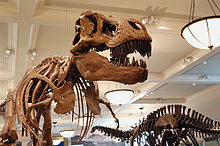 Fossil skeletons of a Tyrannosaurus and an Apatosaurus in a museum