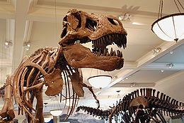 Mounted skeletons of Tyrannosaurus (left) and Apatosaurus (right) at the American Museum of Natural History.