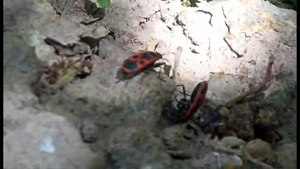 File:Fire bug.ogv