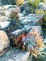 Firedamaged Aloe perfoliata - Hex River Mountains - SA3.jpg