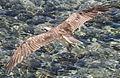 Fischadler im Flug...EgDez2011 193WI.jpg