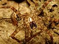Fishing Spider Exuviae - Flickr - treegrow (2).jpg