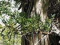 Fitzroya cupressoides - branch - 02.JPG