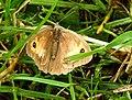 Fjärilar Butterfly (22777284624).jpg