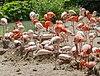 Flamingo (Phoenicopterus roseus), Tierpark Hellabrunn, Múnich, Alemania, 2012-06-17, DD 04.JPG