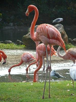 Phoenicopterus ruber Caribbean Flamingo, Busch...