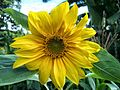 Fleur du tournesol.jpg