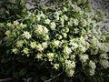 Fleur en Vanoise (23).JPG