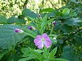 Fleur mauve Binz.JPG