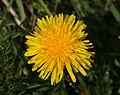 Fleur pissenlit.jpg