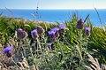 Fleurs sur la côte Atlantique marocaine (14161612988).jpg