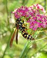 Flickr - aussiegall - Topsy Turvey Wasp- best viewed large.jpg
