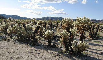 Flickr - brewbooks - Cylindropuntia bigelovii ( Teddy-bear Cholla Cactus).jpg