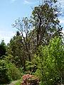 Flickr - brewbooks - Madrone - John M's garden (1).jpg