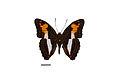 Flickr - ggallice - Adelpha capucinus (3).jpg