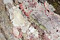 Flickr - ggallice - Bark mantis.jpg