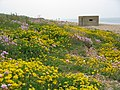 Flora and Pill Box on Chesil Beach - geograph.org.uk - 865105.jpg