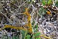Flora della Sardegna 136 (2).JPG