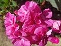Flores rosa.jpg