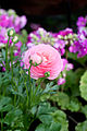 "Flower, Persian buttercup ""M-Sakura"" - Flickr - nekonomania.jpg"