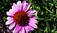 Flower (36094840755).jpg