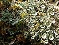 Flowering Lichens. Cladonia diversa Asperges - Flickr - gailhampshire (1).jpg
