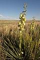 Flowering yucca on the L.H. Webb ranch in TX Panhandle (24998717502).jpg