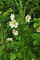 Flowers in Cosmeston Lakes Country Park (4766).jpg