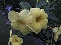 Flowers of Allamanda cathartica at dusk.jpg