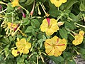 Flowers of Mirabilis jalapa 20190809-1.jpg