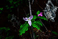 Forest-flower-rock1 - Virginia - ForestWander.jpg