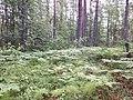 Forest around Värska, Estonia.jpg