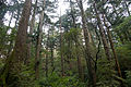 Forest in Yakushima 04.jpg
