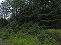Forestry on Bryn Deilos - geograph.org.uk - 1533662.jpg