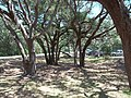 Fort Matanzas parking lot trees01.jpg